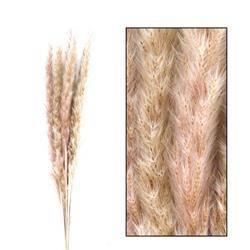 Trawa pampasowa naturalna 75 cm 6 szt