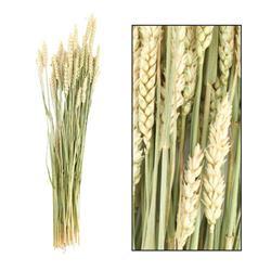 Bukiet suszonej pszenicy 70 cm