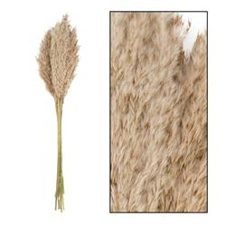 Ozdobna trawa trzcinowa naturalna 75 cm
