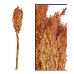 Ozdobna trawa trzcinowa terakota 75 cm