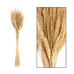 Bukiet suszonej trawy pszenicznej 65 cm