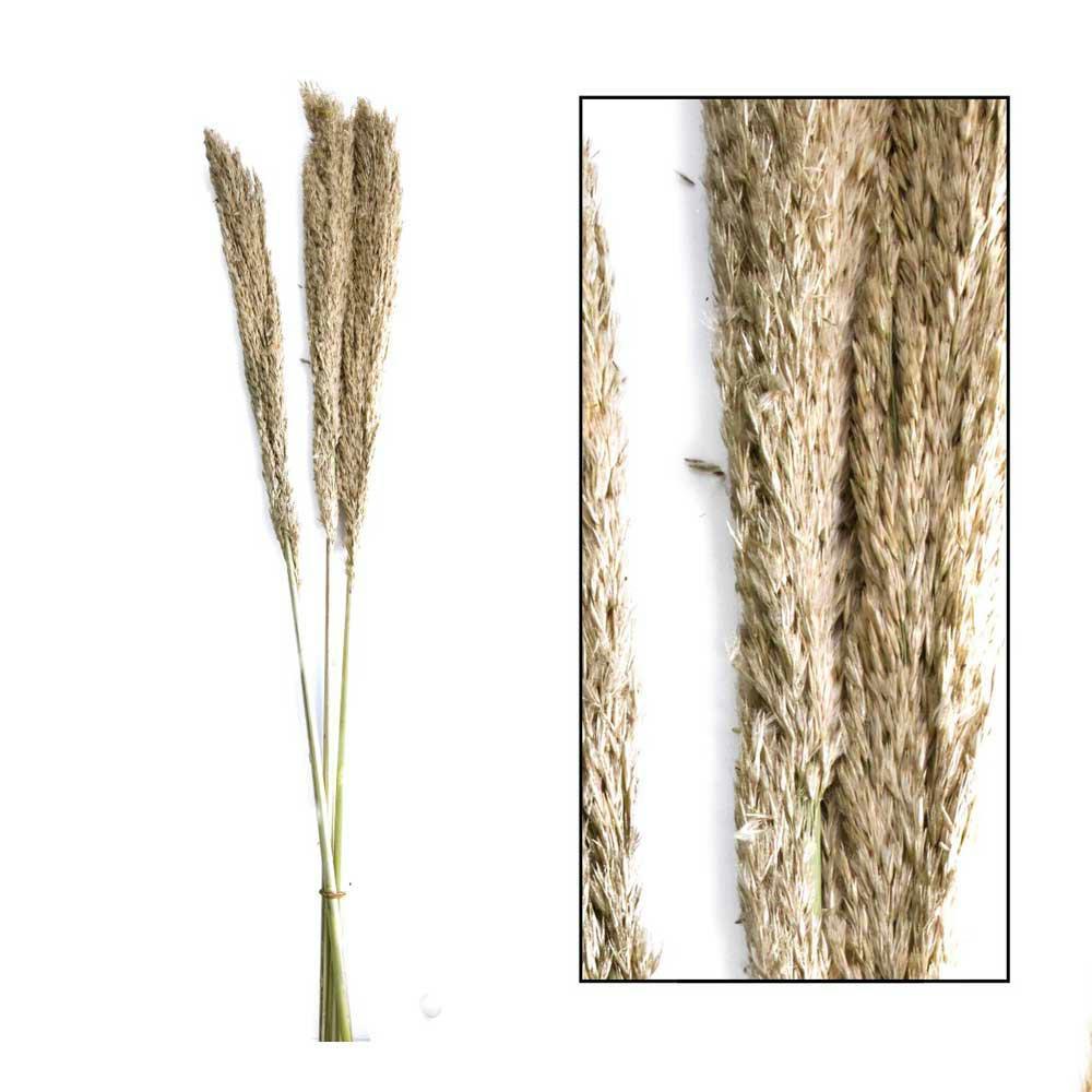 Dzika trawa trzcinowa naturalna 75 cm