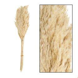 Ozdobna trawa trzcinowa bielona 75 cm