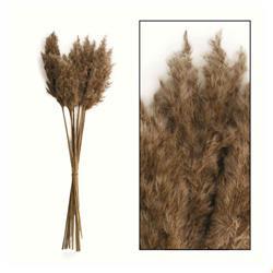 Ozdobna trawa trzcinowa 65 cm