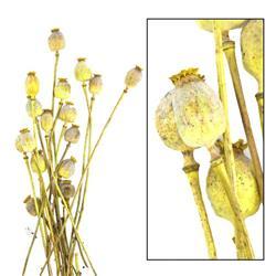 Suszone kwiaty Makówki żółte 60 cm