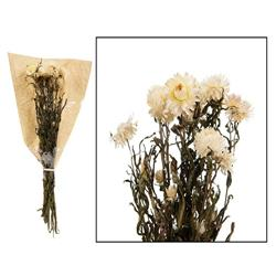 Kwiaty suszone Helichrysum 60 cm