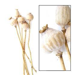 Suszone kwiaty Makówki giganty 5 szt